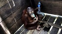Orangutan rescued from box in Borneo