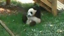 Панда Фушунь показала, як вправно перевертається