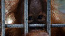 В Индонезии из неволи спасен орангутанг