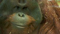 Aprende inglés: El 60% de los primates del mundo en peligro de extinción