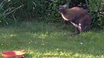 Wallaby hops into back garden