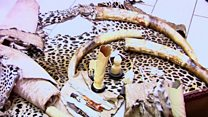 La Côte d'Ivoire saisit 60kg d'ivoire de contrebande