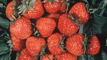 कंटेनरों में उगती ताज़ा स्ट्रॉबेरी