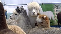 Thousands attend Balmoral Show first day