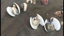 Cá, nghêu chết trắng bờ ở Kiên Giang