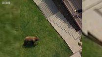 ریچھ کتے سے ڈر کر بھاگ کھڑا ہوا