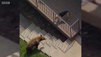 Собака в Лос-Анджелесе прогнала медведя