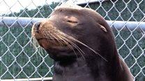 Aquarium rescues sea lion shot in face