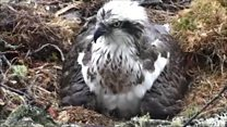Webcam footage of osprey chick hatching