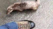 Otter chases man along Eskdalemuir road