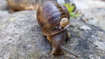 Baby joy for rare 'lefty' snails