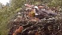Curious red squirrel peeks into osprey nest
