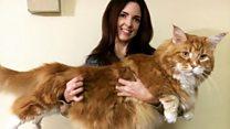 แมวยาวที่สุดในโลก?