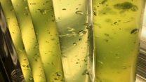 Algae 'protects against UV rays'
