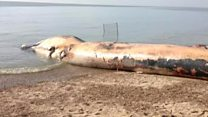 Dead fin whale removed from beach