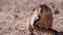 El espectacular duelo entre un roedor  y una serpiente en el desierto de México captado en un documental de la BBC