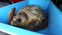 Injured turtle returned to the wild