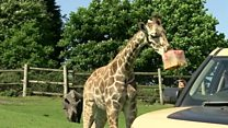Ice lollies for giraffes