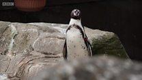 Одинокий пингвин желает познакомиться
