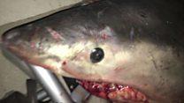 Shark jumps into fisherman's boat