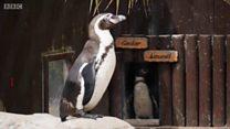 Жалгыз бой пингвинге ургаачы түгөй керек