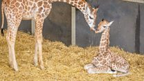 Endangered giraffe born in Bedfordshire