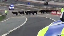 Cows stop traffic during rush hour