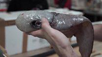 علماء يعثرون على  سمكة بدون وجه
