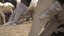 En Somalie, des vétérinaires  pour les bêtes affaiblies par la sècheresse