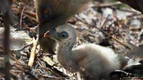 Gay vultures hatch egg