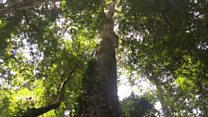 Is this Africa's tallest tree?