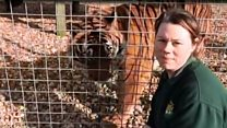 Zookeeper death tiger will not be killed