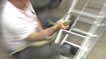Впасти з драбини, але не випустити: облава на ящірку