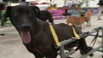 Аксак иттерге инвалиддик коляска
