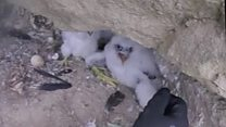 Chicks rescued after falcons poisoned