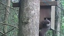 'First' new Welsh pine marten on camera