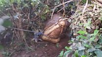 Mulher sai para colher ervas e pisa em crocodilo gigante no Sri Lanka