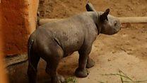 Родился первый в истории эстонский носорог