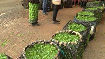 Au Kenya, le thé souffre de la sécheresse