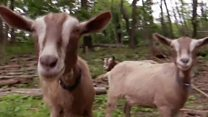 A goat's dream job?