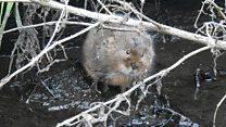 Rare water voles found near supermarket