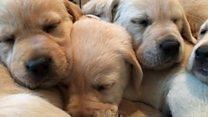How do you raise a guide dog?