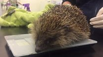 Meet the hedgehog with 'balloon syndrome'