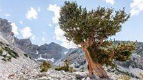 Pohon tertua di dunia berusia lebih 5.000 tahun