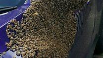 بالفيديو: سرب من 20 ألف نحلة يغطي سيارة