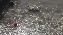 ABŞ-da minlərlə balıq qəfildən ölub