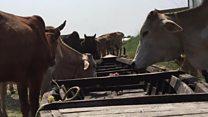 'हर तरफ़ से गाय बांग्लादेश जा रही है'