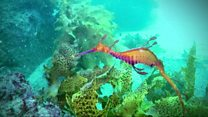 How to keep track of a weedy seadragon