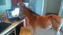 Raising an orphan pony in your home