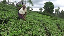Can Kenya's tea industry survive?